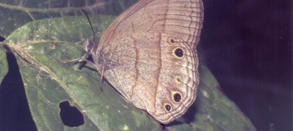 Yphtimoides blanquita