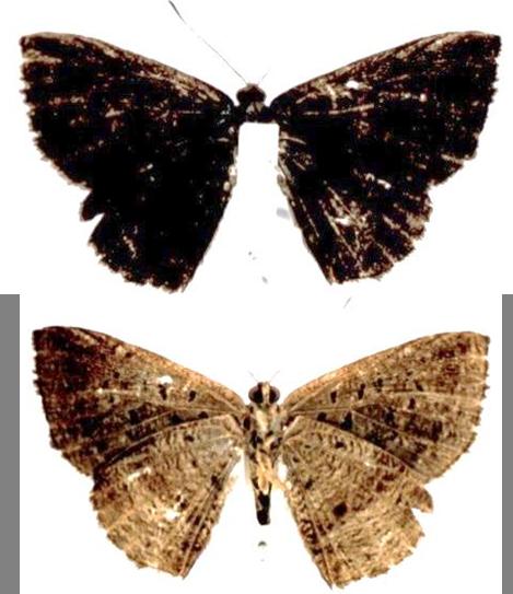 Petrocerus catiena