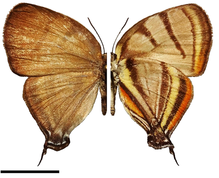 Arawacus erthesa