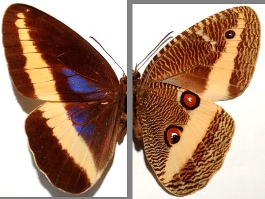 Dasyophthalma geraensis