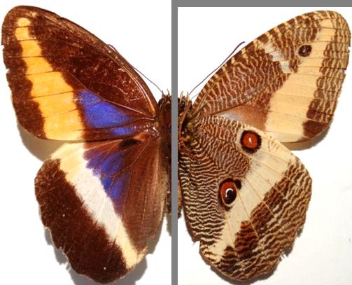 Dasyophthalma rusina delanira