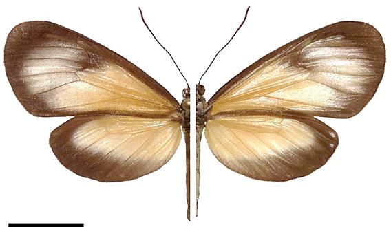 Hyalyris leptalina