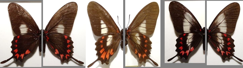 Mimoides lysithous harrisianus