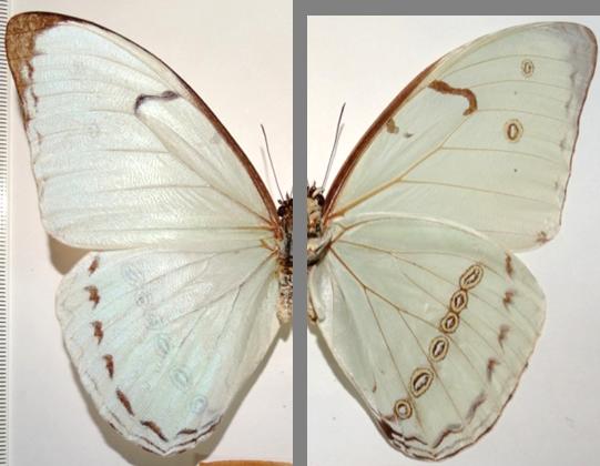 Morpho epistrophus nikolajewna