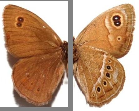 Pampasatyrus gyrtone biezankoi