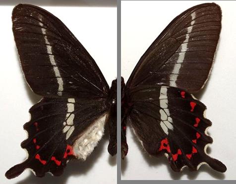 Parides bunichus chamissonia