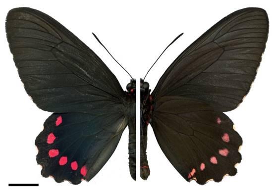 Parides burchellanus