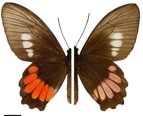 Parides panthonus castilhoi