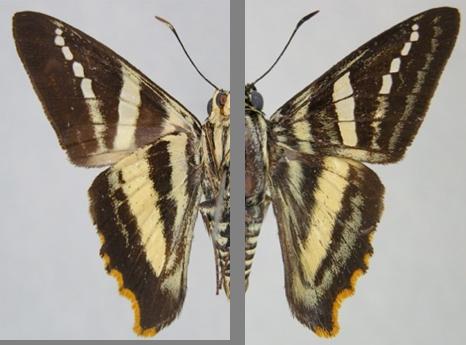 Pseudocroniades machaon seabrai